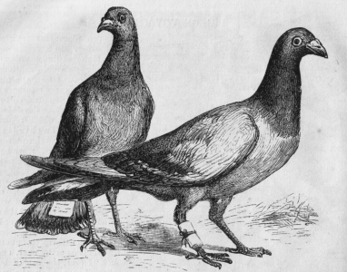 Pigeon_Messengers_(Harper's_Engraving).png