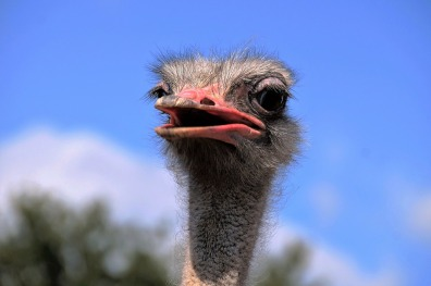 Grimace Bird View Head Stupid The Ostrich